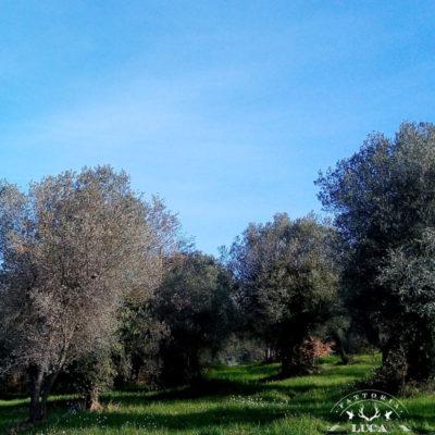olive-grove-fattoria-palombaro
